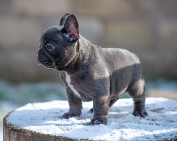 Royal Blue Frenchies English And French Puppies For Sale